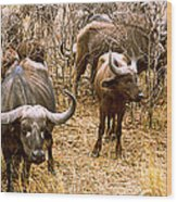 Herd Of Cape Buffaloes Syncerus Caffer Wood Print