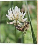 Honeybee On Clover Wood Print