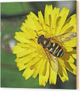 Hoverfly On Dandelion Wood Print