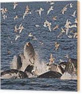 Humpback Whales Feeding With Gulls Wood Print