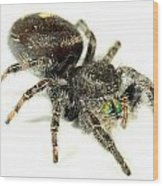 Jumping Spider Wood Print
