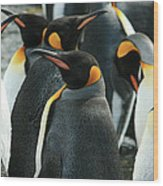 King Penguin Colony Wood Print