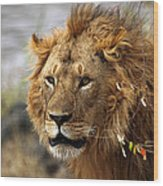 Large Male Lion Emerging From The Bush Wood Print