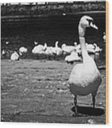 large swan on slipway protecting flock in galway bay Galway city county Galway Republic of Ireland Wood Print