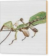 Leaf Insect Species Phyllium Bioculatum Male Wood Print