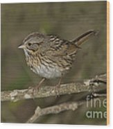 Lincolns Sparrow Wood Print