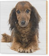 Long-haired Dachshund Wood Print