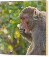 Macaque Eating An Orange Wood Print