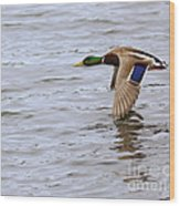 Mallard Duck In Flight Wood Print