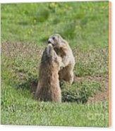 Marmots Wood Print