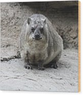 Rock Hyrax Headshot Wood Print