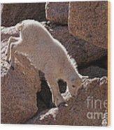 Mountain Goat Kid On Mount Evans Wood Print