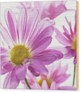 Mums Flowers Against White Background Wood Print
