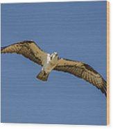 Osprey In Flight Spreading His Wings Wood Print