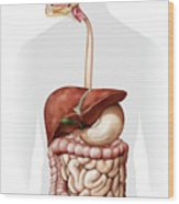 Overview Of The Digestive System Wood Print