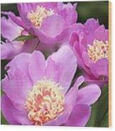 Paeonia Lactiflora 'bowl Of Beauty' Wood Print