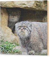 Pallas Cat Wood Print