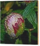 Peony With Rain Drops Wood Print