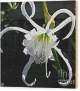 Peruvian Daffodil Named Advance Wood Print