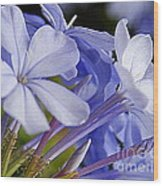 Plumbago Summer Solstice In New Orleans Louisiana Wood Print