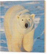 Polar Bear (ursus Maritimus Wood Print