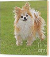 Pomeranian Dog Wood Print