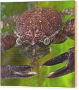 Porcelain Crab On Neptune Grass Wood Print by Science Photo Library
