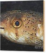 Porcupine Fish Wood Print