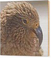 Portrait Of Nz Alpine Parrot Kea Nestor Notabilis Wood Print