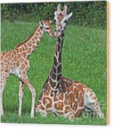 Reticulated Giraffe Calf With Mother Wood Print