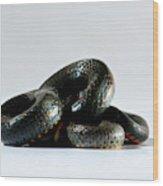 Ringneck Snake Diadophis Punctatus Wood Print
