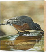 Robin Drinking Wood Print