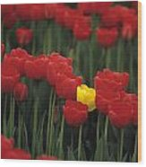 Rows Of Red Tulips With One Yellow Tulip Wood Print