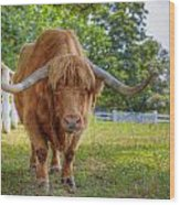 Scottish Highlander Ox Wood Print