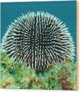 Sea Urchin Wood Print