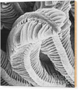 Sem Of Guppy Fish Gill Wood Print