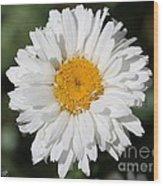 Shasta Daisy Named Paladin Wood Print