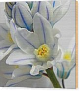 Siberian Squill  Wood Print
