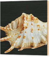 Spider Conch Wood Print