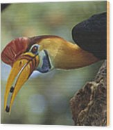Sulawesi Red-knobbed Hornbill Male Wood Print