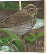 Swainsons Thrush Wood Print