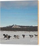 Team Of Sleigh Dogs Pulling Wood Print