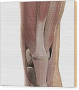 The Muscles Of The Knee Wood Print