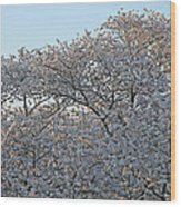 The Simple Elegance Of Cherry Blossom Trees Wood Print