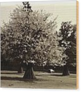 Tree With Large White Flowers Wood Print