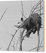 Treed Opossum Wood Print