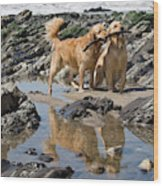 Two Golden Retrievers Playing Wood Print