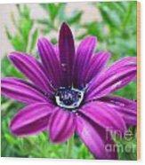 Violet Daisy Wood Print