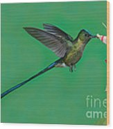 Violet-tailed Sylph Wood Print