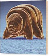 Water Bear Tardigrades Wood Print